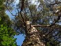 Fajna skalní borovice.