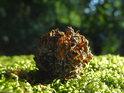 Borová šiška na mechu zeleném slunečními paprsky prosvětleném.