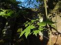 Javorové listy na nízkém Slunci.
