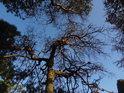 Uschlá borovice na Babím lomu.