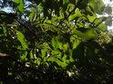 Zelené bukové listy již v září ztrácí svoji sytost.