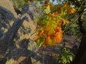Dubové listy poněkud předčasně chytily podzimní zabarvení.