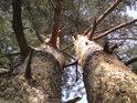 Pohled do koruny borovic, siamských dvojčat.
