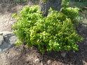 Mladé dubové křoví kolem paty mateřského dubu.