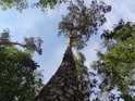 Lehce vlnitá borovice poblíž Čertova sedla.