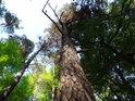 Štíhlá přímá borovice vedle své pokroucené sestry.
