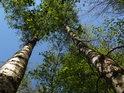 Dvojice bříz na okraji lužního lesa.