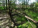Zlomených stromů najdeme v luzích vždy dost.