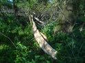 Luhy jsou plné polámaných větví křehkých topolů.