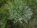 Trs bílých květin na Bílé hoře.