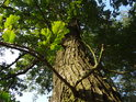 Dub při západním okraji Bosonožského hájku