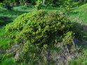 Samostatný ostrůvek borůvčí.