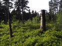 Mrtvý pahýl smrku na pasece. Původní strom přišel k újmě nejspíše při vichřici.