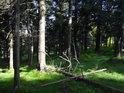 Slunce místy proniká do smrkového lesa.