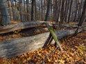 Rozštíplý padlý kmen buku v podzimním lese.
