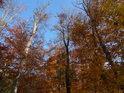 Téměř uschlé habry se vyjímají mezi živými letními duby a buky v sousedství Alexandrovy rozhledny.
