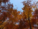 Koruny buků v barvách podzimu v dolní části Dřínové.
