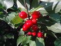 Červená se hezky vyjímá ve stinném lese.
