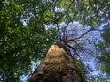 Osvětlený kmen položivé borovice.