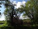 Zlomená vrba na pravém břehu řeky Odry.