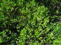 Velice nezralé borůvky slibují báječné pochutnání za 2 měsíce.