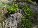 Mladé borůvčí prorůstá trouchnivějící smrkový pařez.