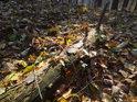 Pomalu se rozkládající kmen v bukovém listí.
