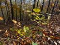 Mladý buk vzešlý z bukvice s opadem listí příliš nepospíchá.