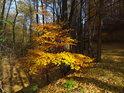 Okouzlující barvy podzimu v bukovém lese.