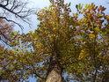 Dub zimní je tu počátkem listopadu ještě zpola zelený.