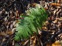 Plně zelené kapradí na počátku listopadu znamená, že ještě nebyl pořádný mráz.