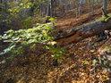 I dub se může zlomit, přestože platí za velice pevný strom.