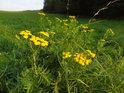 Žluté květy vratiče obohacují zeleň Junácké louky.