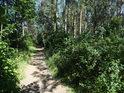 Pěšina přes borový lesík.