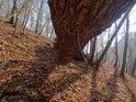 Pod prohnutým kmenem padlého dubu.