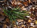 Živý trs trávy v popadaném bukovém listí.