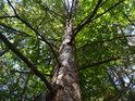 Uschlá borovice a za ní zelené bukové listí.
