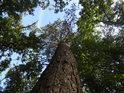 Statná borovice mezi samými duby.