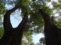 Dva prakovité duby v Krnovci.