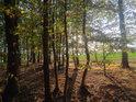 Buky v na okraji lesa o babím létě.