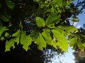 Bukové listy na Květnici prožívají své rané stáří, zatím zůstávají zelené.