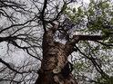 Borovice je mezi duby a habry spíše osamělá.