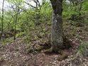Obnažené kořeny napovídají, že zde působí eroze.