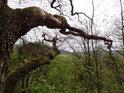 Uschlá a mechem obrostlá větev se zjara vyjímají vůči celku.
