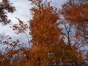 Bukové listy v barvě podzimu, těsně před opadáním.