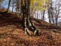 Spletené kořeny bukových čtyřčat.