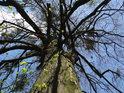 Na zimním dubu teprve raší pupeny, jmelí v jeho koruně však má jiný životní cyklus.