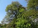 Statný lužní dub.