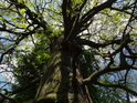 Pohled vnitřkem koruny mohutného dubu u Odry.