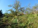 Popínavé rostliny se drží Medlánecké skalky.